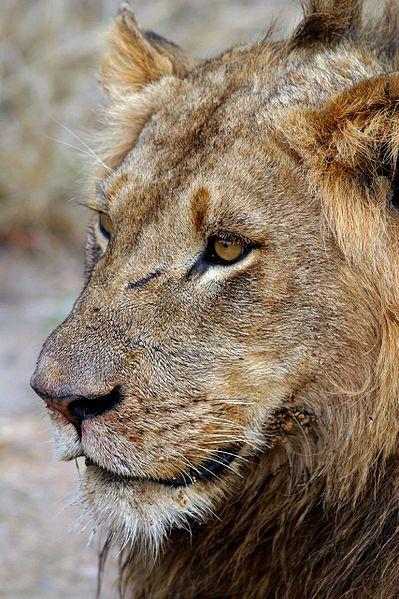 399px-Panthera_leo_Sabi_Sands