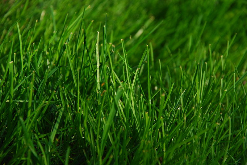 800px-Green_Grass