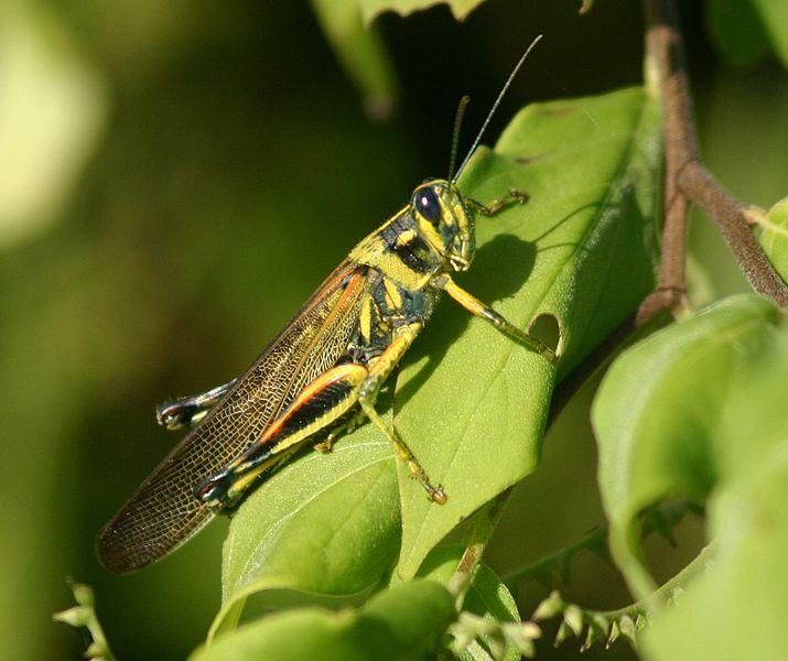 715px-Large_Painted_Locust