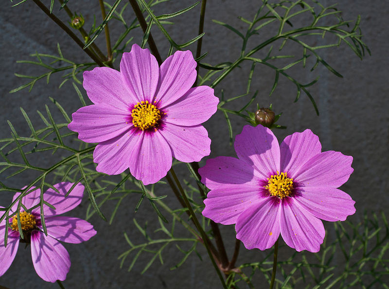 Cosmos_bipinnatus_pink,_Burdwan,_West_Bengal,_India_31_01_2013